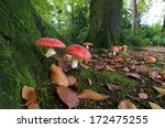 Red Agaric Fly Mushrooms On A...