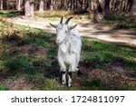 White Goat Grazes In The Forest ...