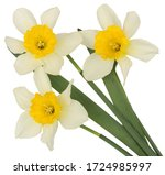 Narcissus Isolated On White...