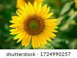 Field Of Sunflowers  Flowering...