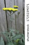 Gold Yarrow flower plant in full bloom in southern Wisconsin.