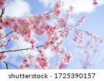 Blooming sakura with pink...