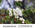 Flowering Pear Tree In An Old...