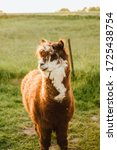 Cute Brown And Fluffy Alpaca I...