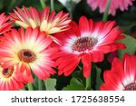 Gerbera Daisy Red And White...