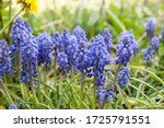 Armenian Grape Hyacinth Muscari ...