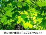 Small photo of Green maple leaves sunlight background
