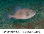 Grey Triggerfish Or Gray...