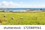 Sheep Grazing In A Field Next...