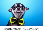 Stock photo beautiful chihuahua dog with bow tie animal portrait chihuahua dog in stylish clothes blue 172598054