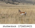 Pronghorn Antelope Buck In The...