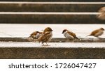 Birds In A Puddle.a Flock Of...