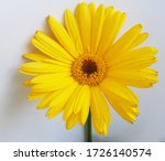 Yellow Flower Isoated In White ...
