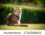 Beautiful Calico Maine Coon Cat ...