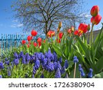 Tulip Oxford And Muscari On A...