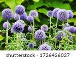 Echinops \'taplow Blue\' Globe...