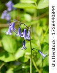 Close Up Of Bluebell Flower In...
