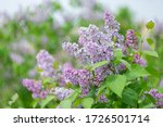 Spring Blooming Lilac On A...