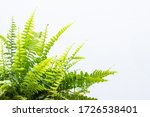 Nephrolepis Exaltata Plant With ...