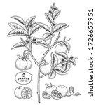 vector sketch citrus fruit... | Shutterstock .eps vector #1726657951