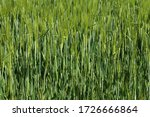Green Winter Crops In The...