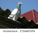 The Homing Pigeon Is A Variety...