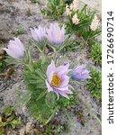 Small photo of flower strong fresh ground purpure