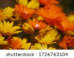 Orange And Yellow Namaqualand...