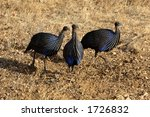 Three Vulturine Guineafowl