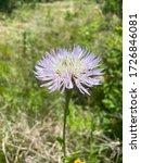 Beautiful American Basketflower ...