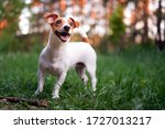Happy Dog  Jack Russell Playing ...