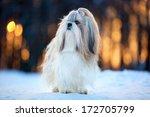 Shih Tzu Dog Winter Portrait.
