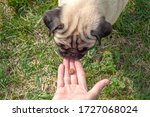 Pug Dog With A Funny Face Takes ...