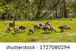 A Goose Family Eating Grass In...