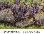Spring Flowering Perennial Blue ...
