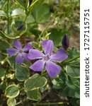 Two Violet Periwinkles In The...