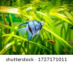 Zebra Angelfish In Tank Fish...
