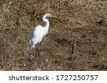 Beautiful Great White Egret On...