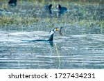 An Adult Cormorant Fishing In...