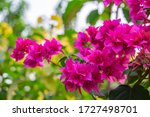 Blooming Bougainvillea  Bouque...