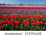 Colorful Tulip Farm In...