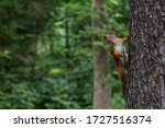 Cute Red Squirrel Animal...