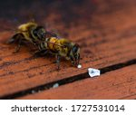 Two Honey Bees On Wooden Hive...