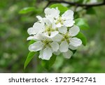A Branch Of A Blossoming Pear ...