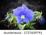 Bright Blue Pansies Flowers In...