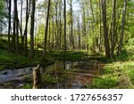 "Natural riparian forest composed of  common alder (Alnus glutinosa) trees. The Sources of the Lyna River Nature Reserve (Polish: ""Źródła rzeki Łyny""). Warmia. Poland"