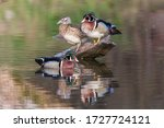 Wood Duck  Aix Sponsa  In Spring