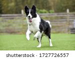 Border Collie Playing With Dog...
