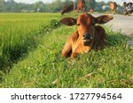 A Cute Baby Cow In Green Rice...