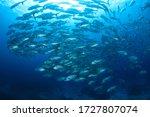 Schooling Jack Fish In Blue...